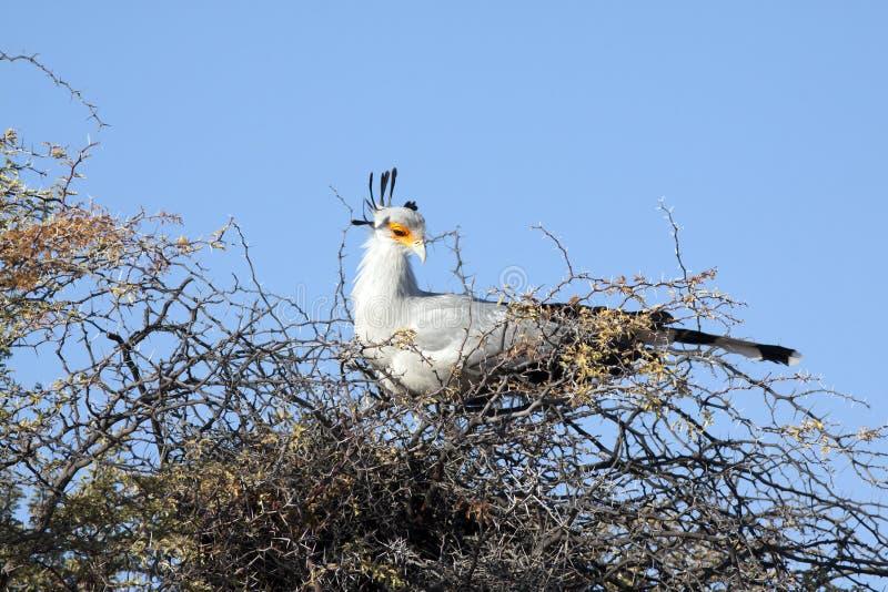 Download A female secretary bird stock image. Image of beak, bird - 15532333