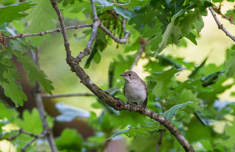 A female Semi-collared Flycatcher on a Oak royalty free stock images