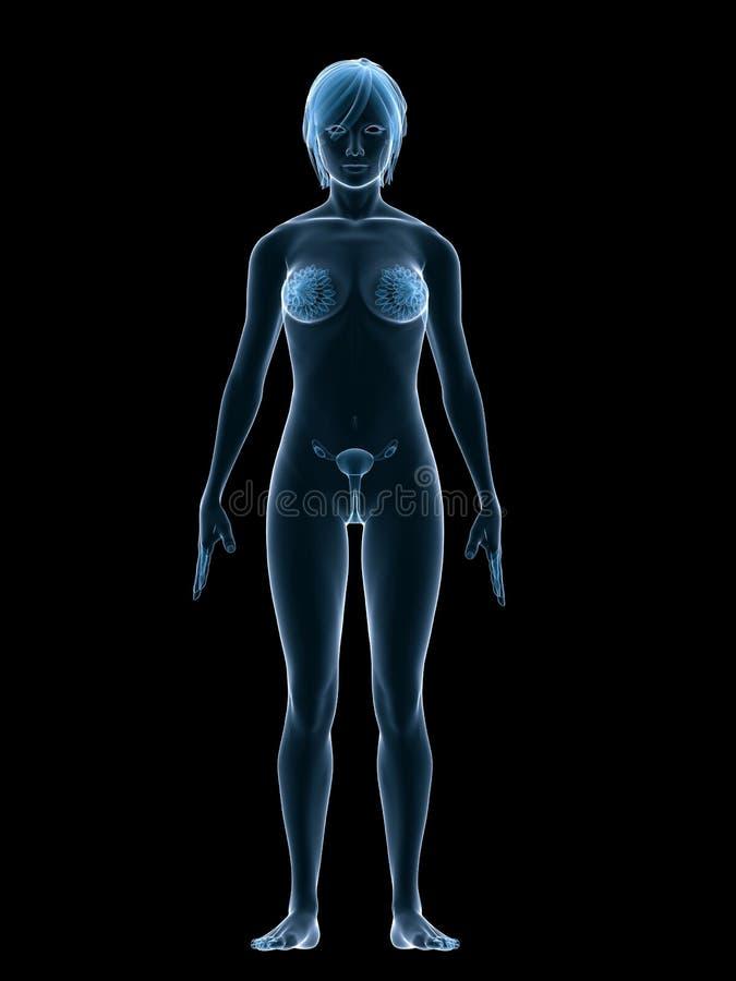 Download Female sex organs stock illustration. Image of pregnancy - 5591521