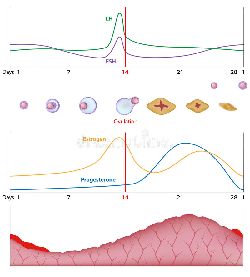 Female sexual cycle stock illustration