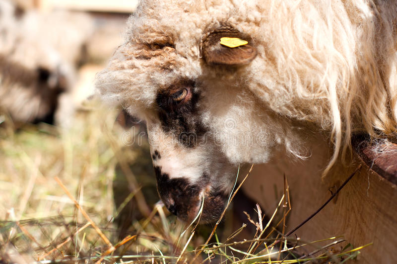 Female sheep eating in byre with the flock. Female sheep eating grass in byre with the flock royalty free stock images