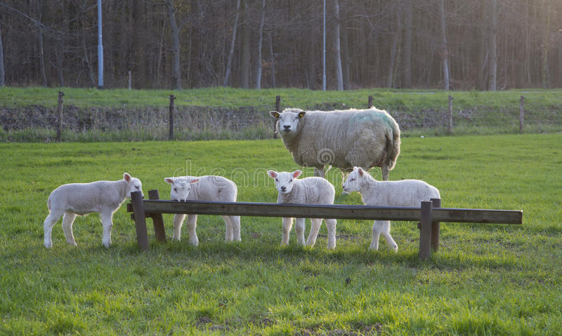 Female sheep with lambs stock image