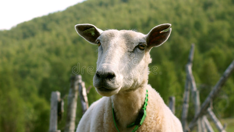 Female sheep royalty free stock photo