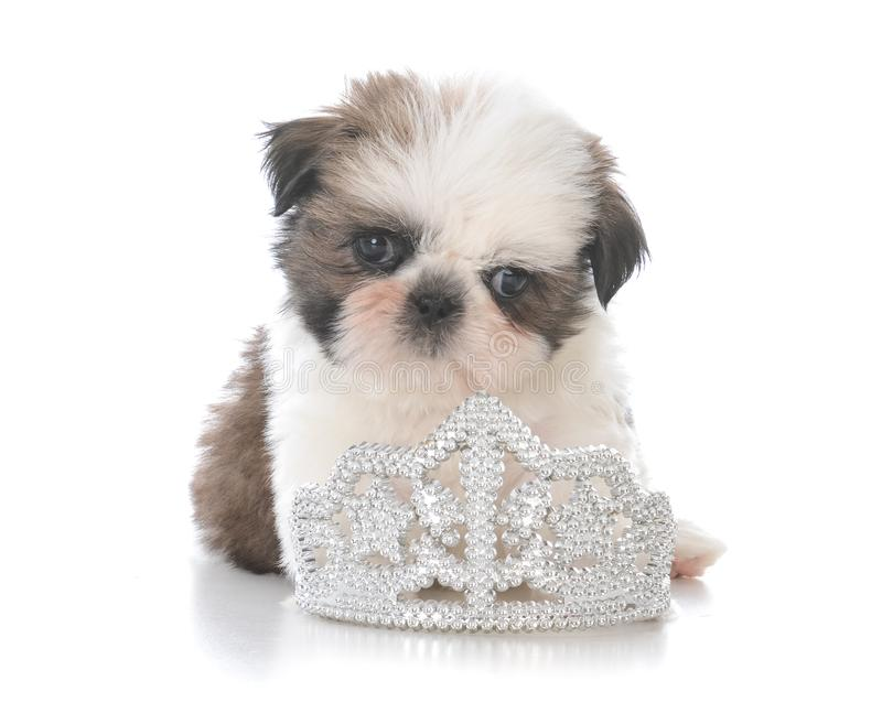 female shih tzu puppy laying inside tiara royalty free stock images
