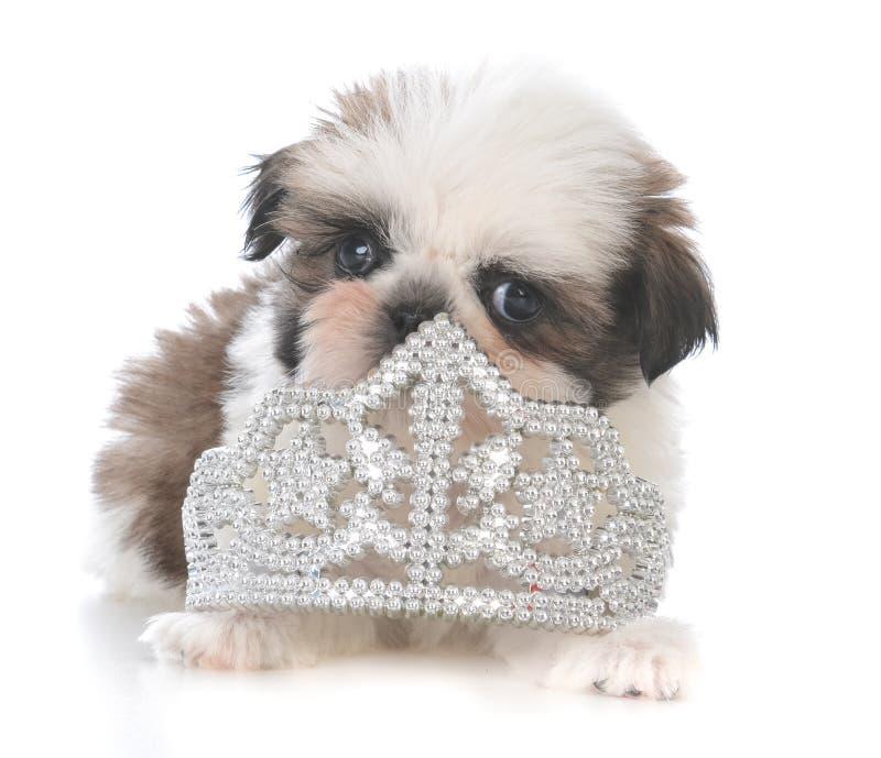 female shih tzu puppy laying inside tiara stock photos