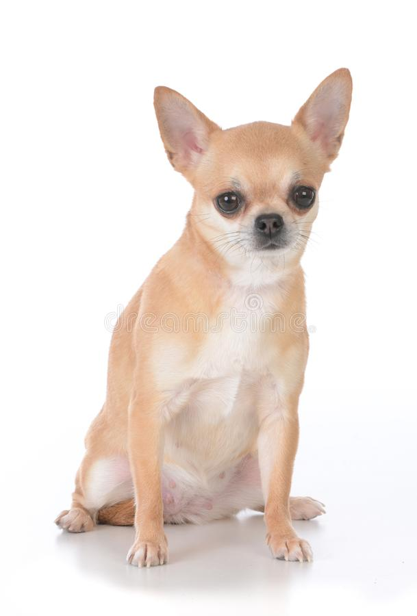 Female short haired chihuahua stock photography