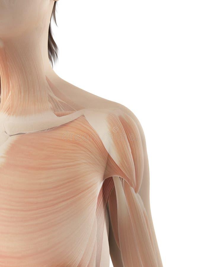 The Female Shoulder Muscles Stock Illustration Illustration Of
