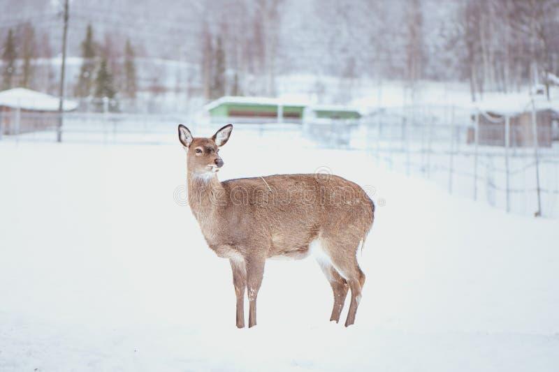 Female Sika deer , Cervus nippon, spotted deer royalty free stock photo