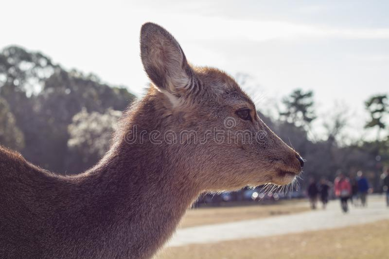Female Sika Doe, Nara, Japan stock images