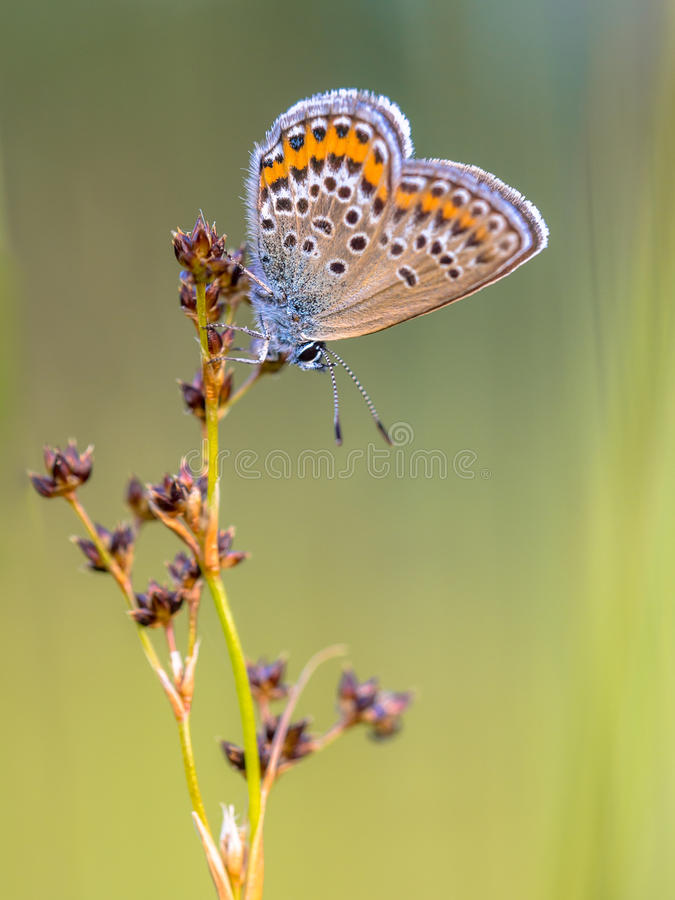 Female silver studded blue butterfly preparing for night stock images