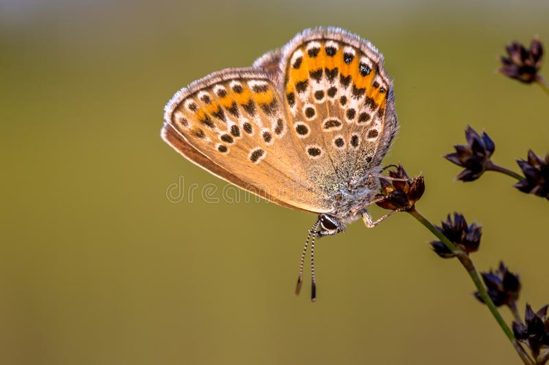 Female silver studded blue butterfly resting in evening light stock photo