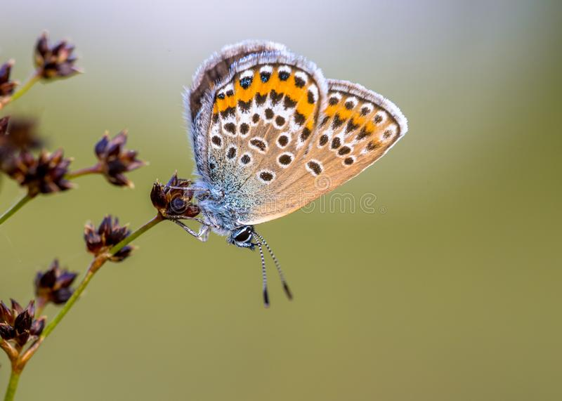 Female silver studded blue butterfly resting preparing for night stock photo