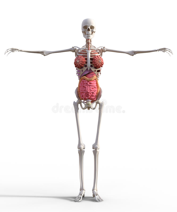 Female skeleton stock image. Image of anatomy, organs - 60913137