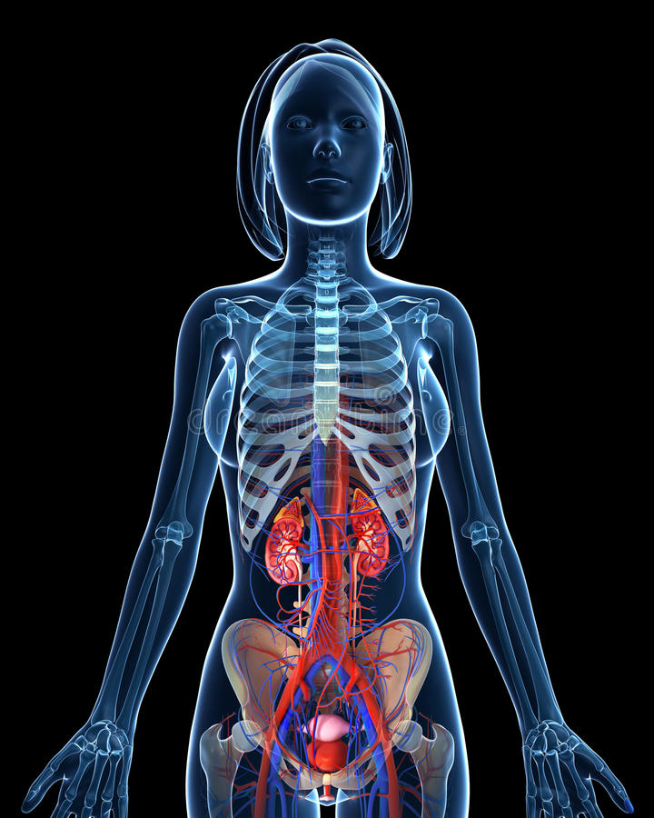 Female Skeleton Urinary System With Open Kidneys Stock Illustration