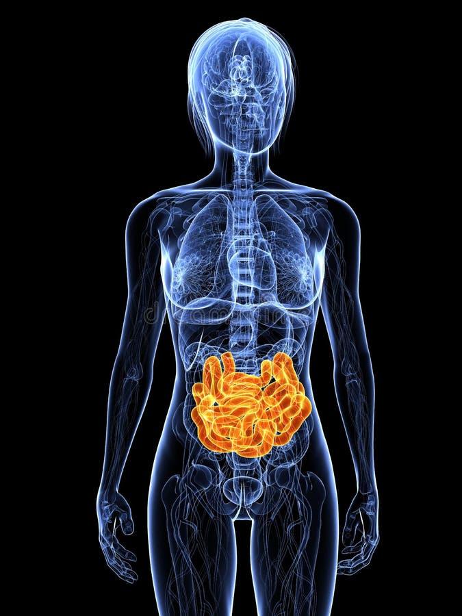 Female small intestines stock illustration. Illustration of cancer ...