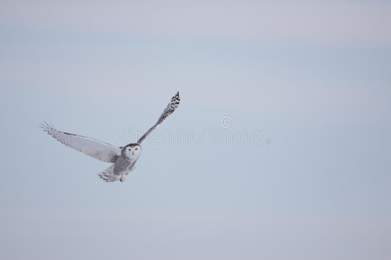 Female Snowy Owl royalty free stock images