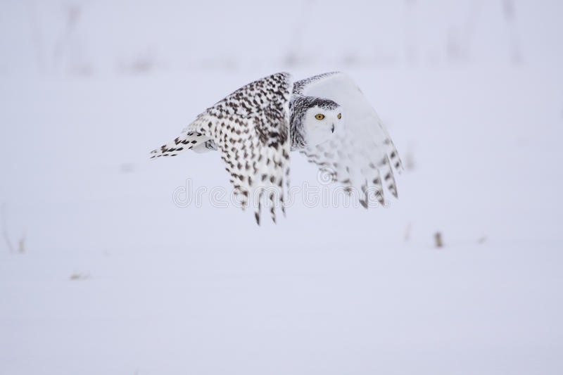 Female Snowy Owl royalty free stock photos