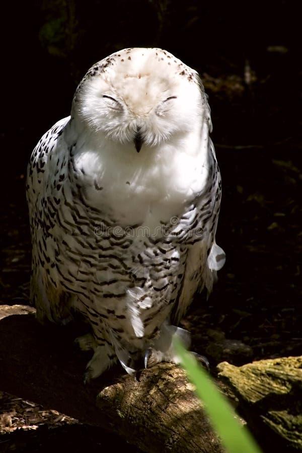 Female Snowy Owl. Sleeping on a log stock image