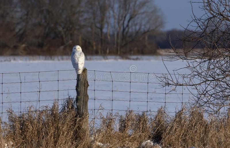 A Female Snowy owl Bubo scandiacus perched on a wooden post at sunset in winter in Ottawa, Canada. Female Snowy owl Bubo scandiacus perched on a wooden post at stock image