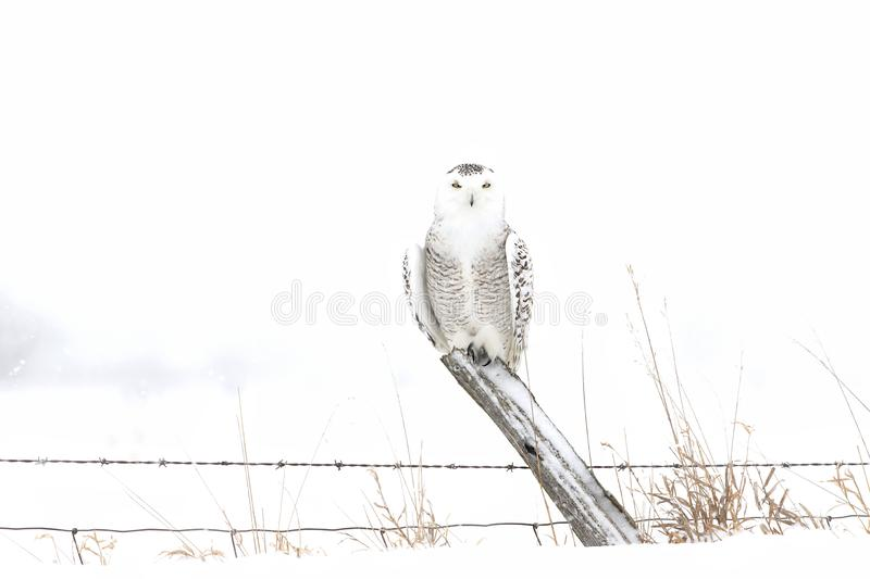 A female Snowy owl perched on a post in winter hunting over a snow covered field in Canada stock photography