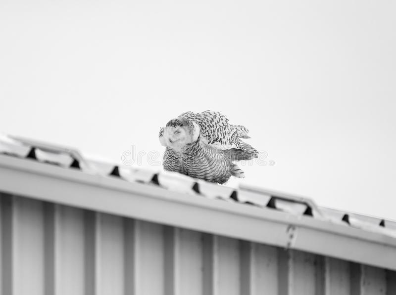 Female Snowy Owl on a tin roof. A female Snowy Owl dozing on a tif roof in Ontario, Canada in the morning royalty free stock photos
