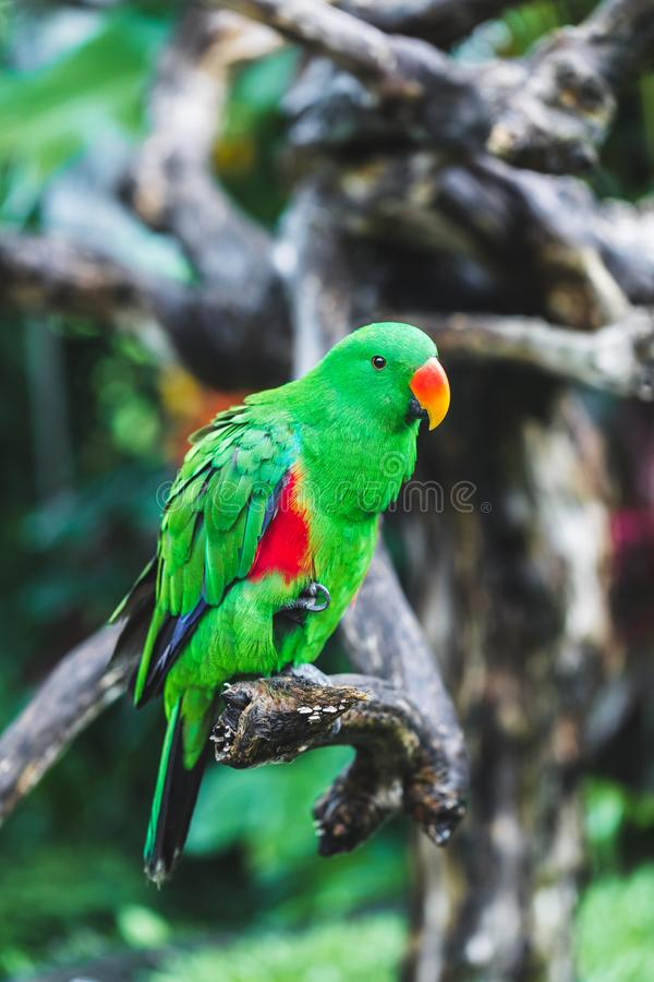 Female Solomon Island Eclectus green Parrot stock image