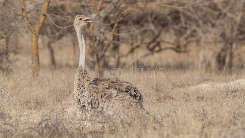Female Somali Ostrich in Savanna royalty free stock images