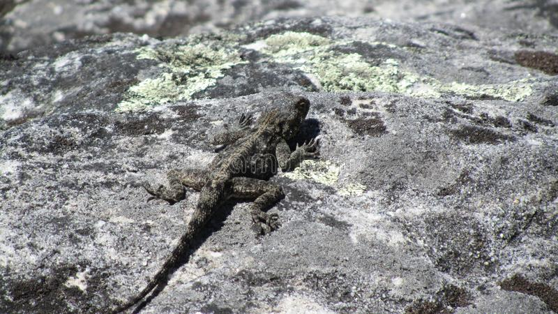 Female Southern Rock Agama Lizard royalty free stock photos