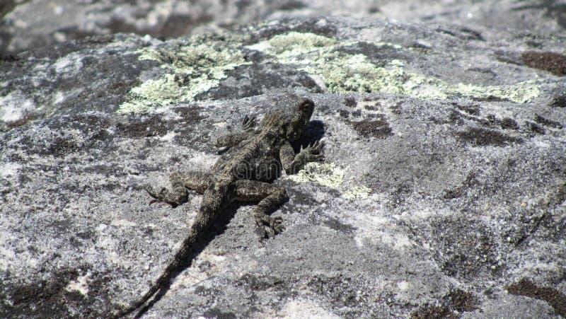 Female Southern Rock Agama Lizard royaltyfria foton