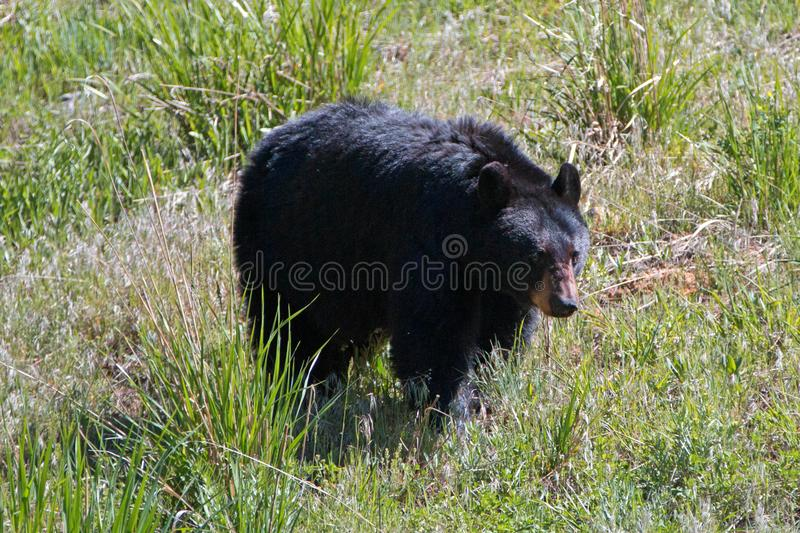 Female Sow American Black Bear [Ursus americanus] near Roosevelt Lodge in Yellowstone National Park in Wyoming USA royalty free stock photos