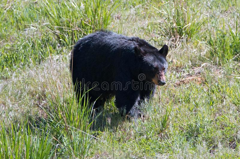 Female Sow American Black Bear [Ursus americanus] near Roosevelt Lodge in Yellowstone National Park in Wyoming USA stock image