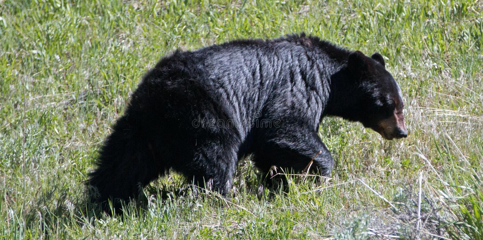 Female Sow American Black Bear [Ursus americanus] near Roosevelt Lodge in Yellowstone National Park in Wyoming USA royalty free stock photography