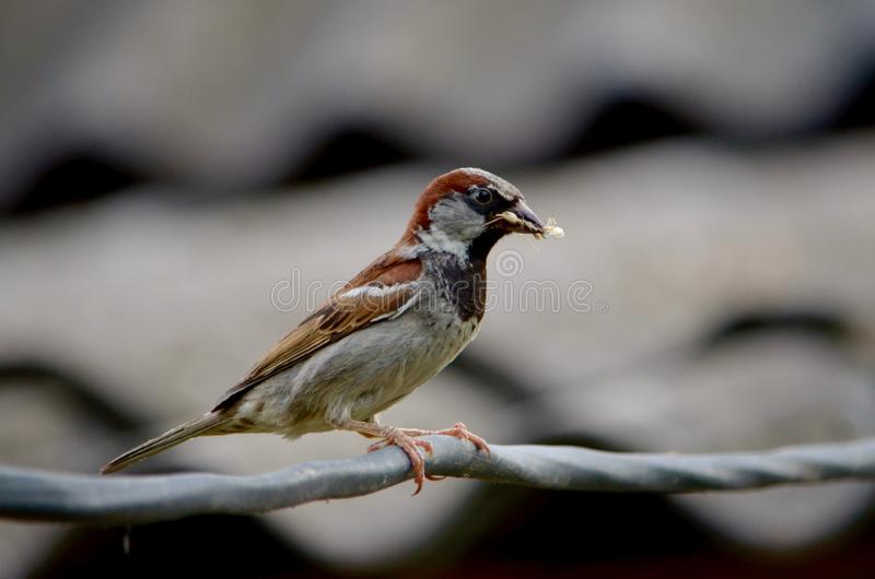 Female sparrow with prey in its beak. Female sparrow with prey in its beak for chicks. Sits on the wire, waiting for a safe moment to return to the nest royalty free stock photo