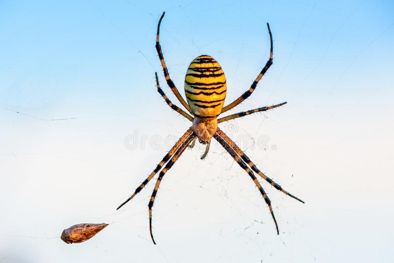 Female spider of argiope Bruennichi sits in his web against the. A female spider of argiope Bruennichi sits in his web against the blue sky royalty free stock photography