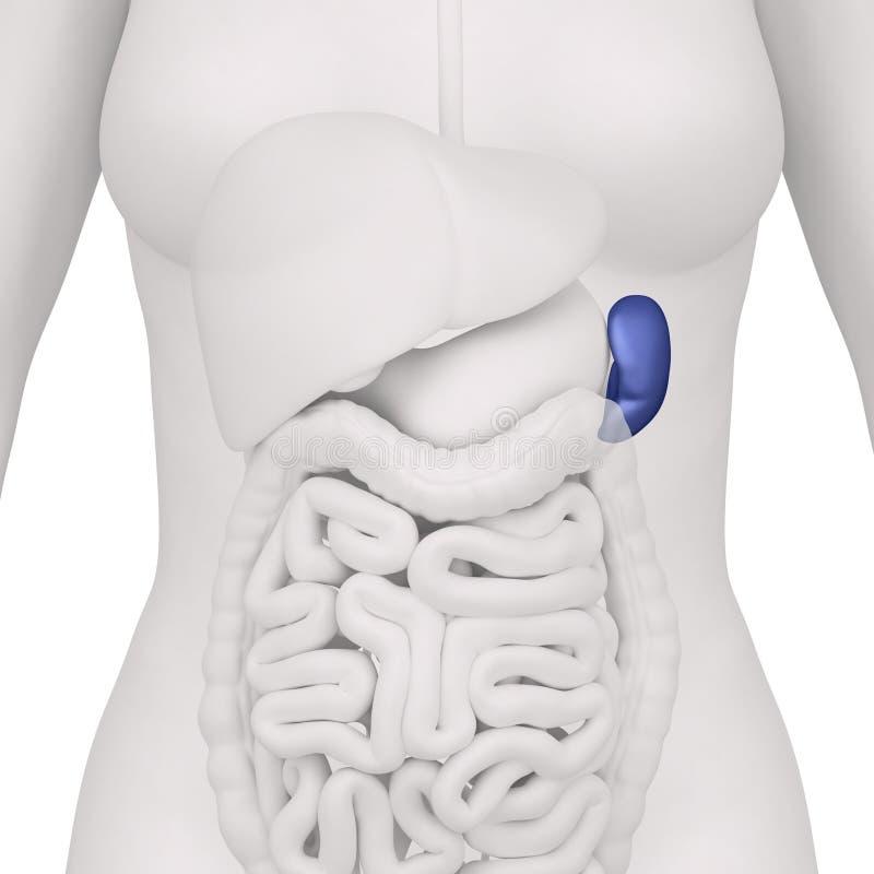 Female Spleen And Abdominal Organs - Anterior View Stock ...