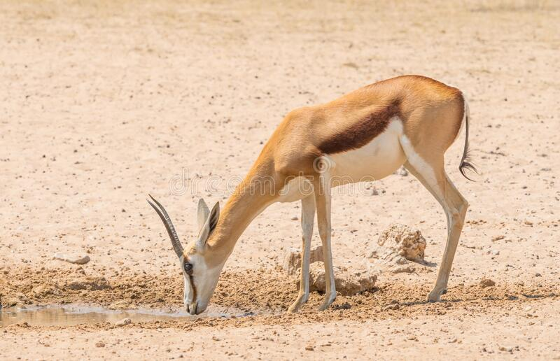 A Female Springbok at a Waterhole stock image