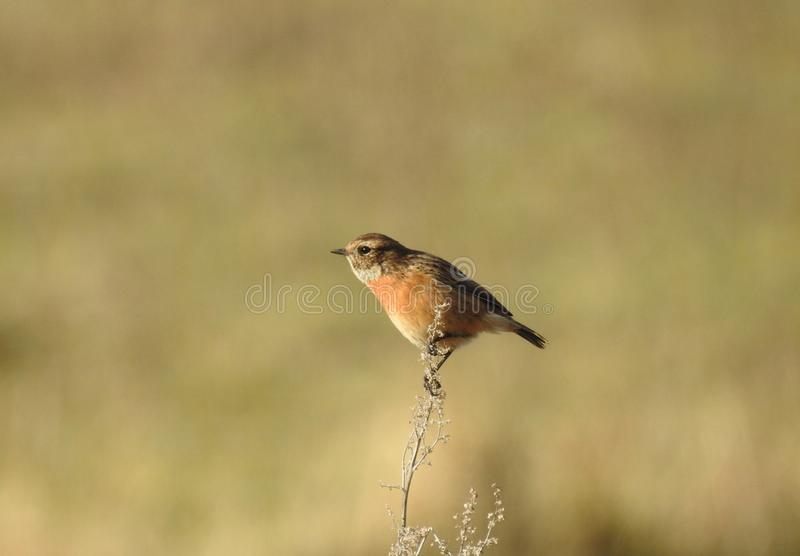 Female stonechat perched in a meadow in the UK stock photos