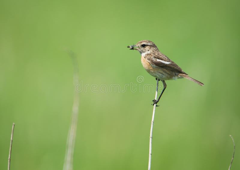 Female stonechat on a stalk of reed with a bug in the bill stock images