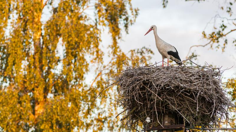 Stork on the nest. A female stork is standing on a large nest royalty free stock photos