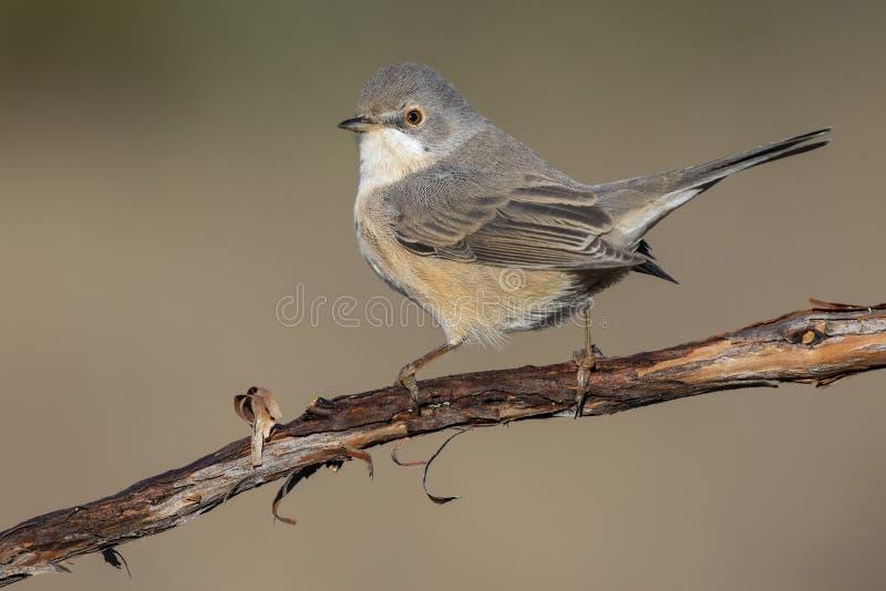 Female of Subalpine warbler. Sylvia cantillans stock photo