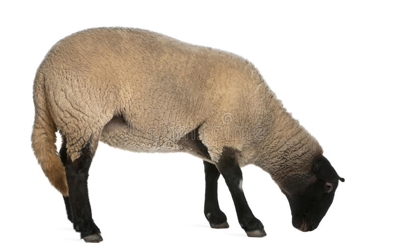 Download Female Suffolk Sheep, Ovis Aries, 2 Years Old Stock Photography - Image: 22516002