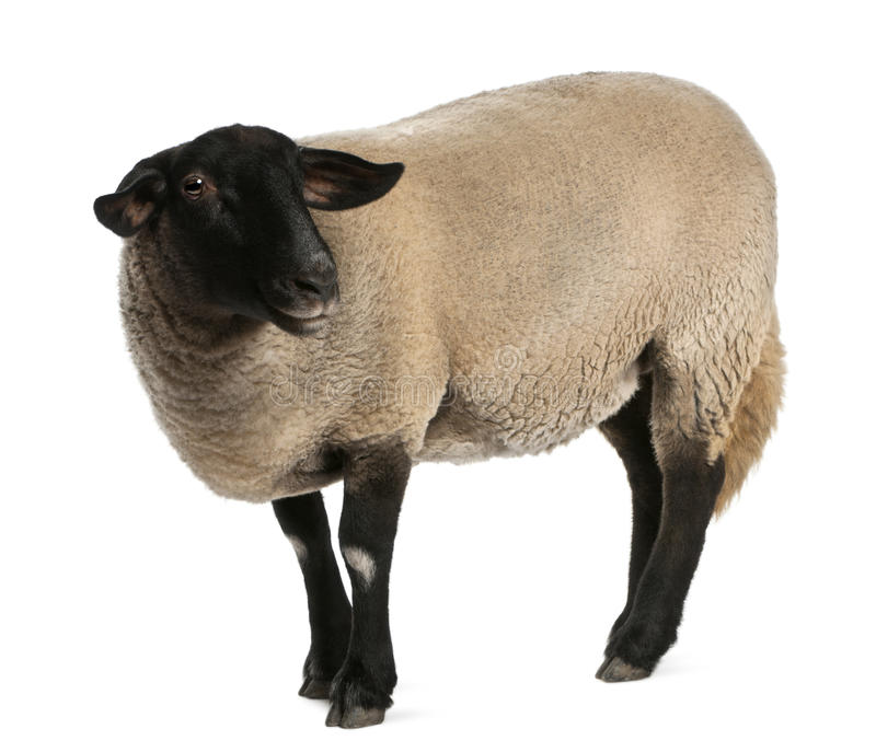 Download Female Suffolk Sheep, Ovis Aries, 2 Years Old Stock Photo - Image: 22516156
