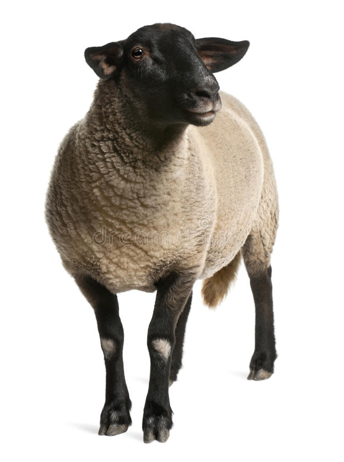 Download Female Suffolk Sheep, Ovis Aries, 2 Years Old Stock Image - Image: 22516161