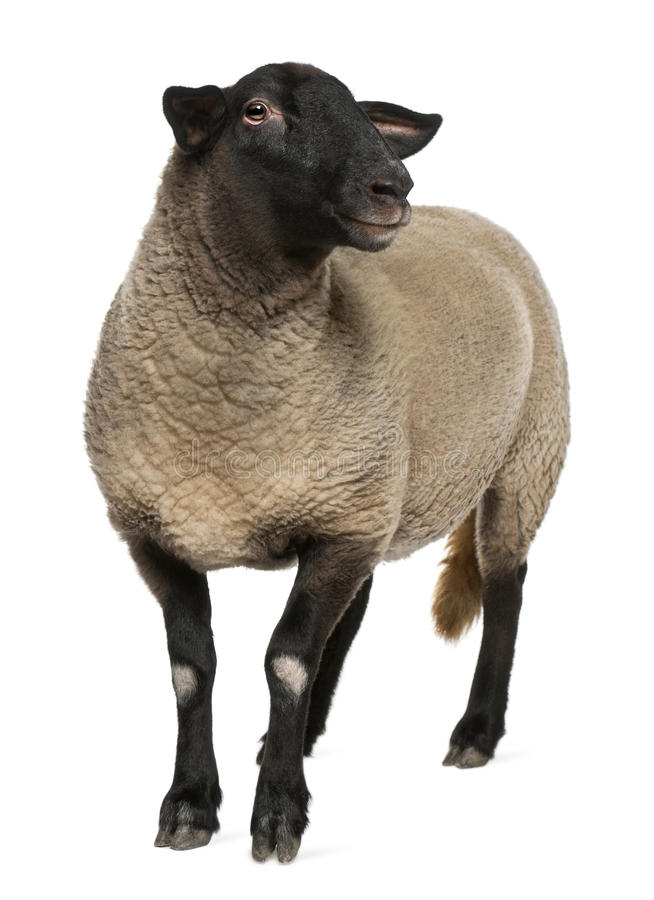 Female Suffolk sheep, Ovis aries, 2 years old stock images