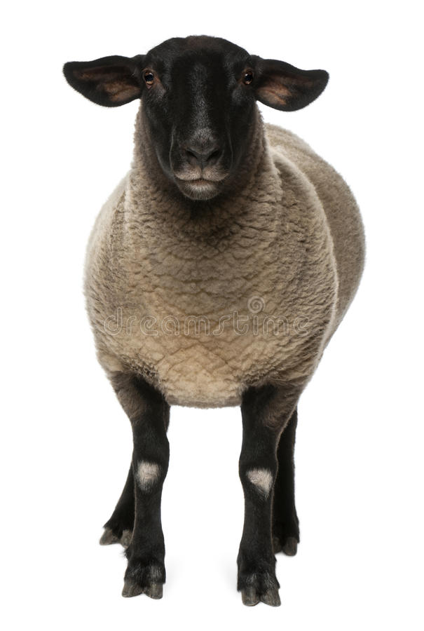 Female Suffolk sheep, Ovis aries, 2 years old. Standing in front of white background stock images