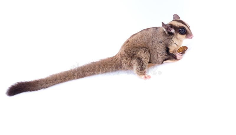 Female sugar glider eating roast insect on the floor isolate on royalty free stock photo