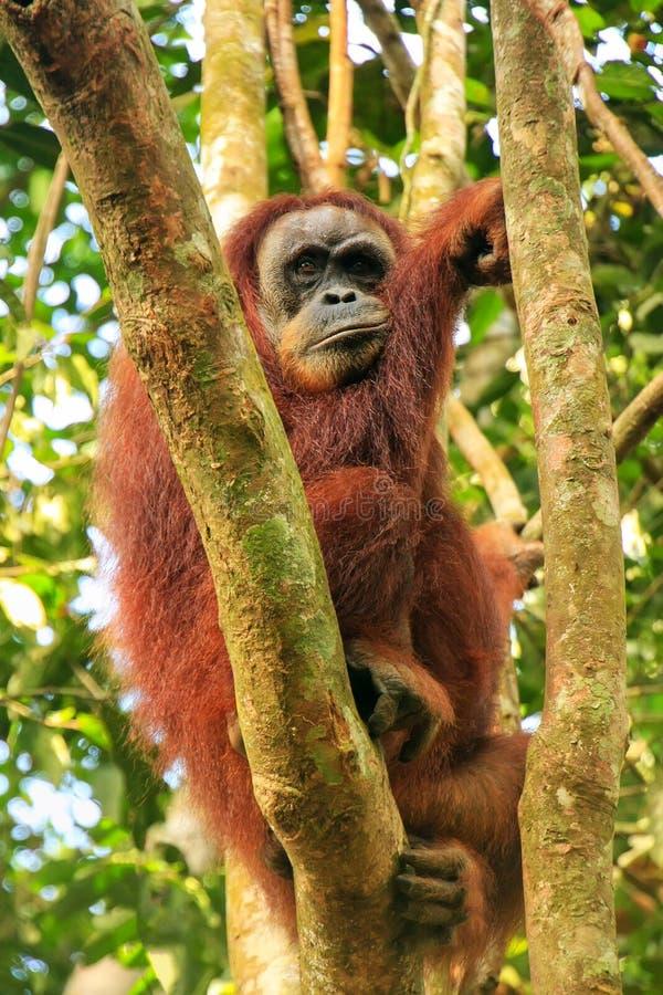 Female sumatran Orangutan stock image. Image of