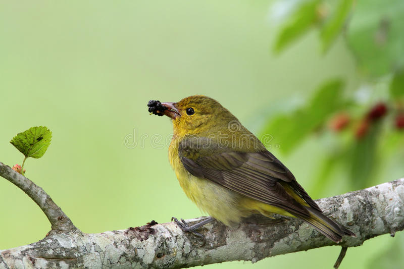 Download Female Summer Tanager stock photo. Image of beak, bird - 22633238