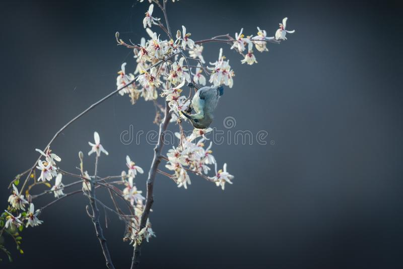 Female sunbird nectaring. Female sunbird collecting nectar from a wild flower at spring royalty free stock photography