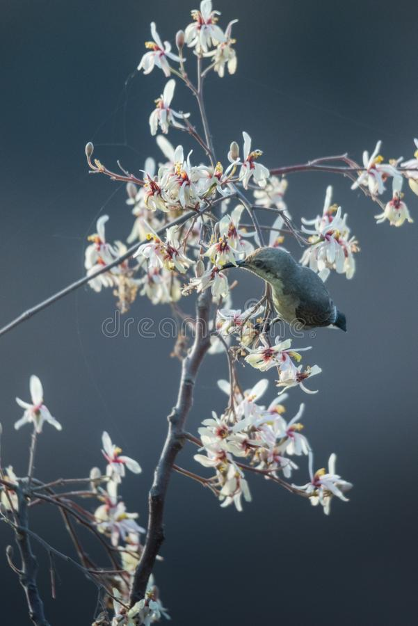 Female sunbird nectaring. Female sunbird collecting nectar from a wild flower at spring royalty free stock photo